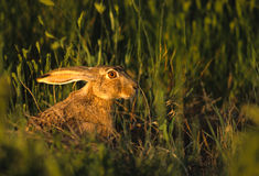 Black-tailed Jackrabbit in Grass. Close up portrait of the face and ears of a cute black-tailed jackrabbit in green grass Royalty Free Stock Photo