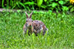 Black-tailed jackrabbit in HDR Royalty Free Stock Image