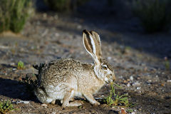 Black-tailed Jackrabbit, Lepus californicus Stock Image