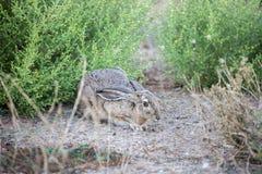 Black-tailed Jackrabbit - Lepus californicus. Black-tailed Jackrabbit, also known as American desert hare, hiding Royalty Free Stock Image