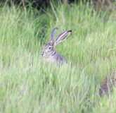 Black-tailed Jackrabbit - Lepus californicus Royalty Free Stock Image