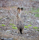 Black-tailed Jackrabbit - Lepus californicus, rear view Royalty Free Stock Photos