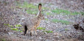 Black-tailed Jackrabbit - Lepus californicus, side view Stock Photography