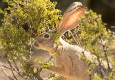 Black-tailed jackrabbit munching on a creosote bush royalty free stock images