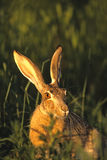 Black-tailed Jackrabbit portrait. Close up of a black-tailed jackrabbit sitting in green grass Royalty Free Stock Image