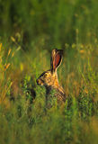 Black-tailed Jackrabbit Portrait. Close up portrait of the face and ears of a cute black-tailed jackrabbit in tall grass Stock Photography