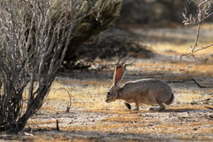 Black-tailed Jackrabbit Sniffing. A Black-tailed Jackrabbit in Southern California Royalty Free Stock Images
