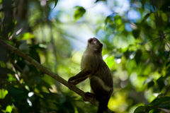 Black-tailed marmoset Royalty Free Stock Photo