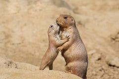 Free Black-tailed Prairie Dog Stock Images - 116628814