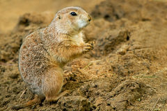 Black-tailed Prairie Dog Stock Image