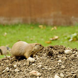 Black-tailed prairie dog stock photography