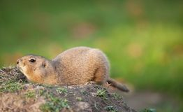 Black tailed prairie dog Stock Photo