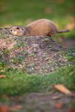 Black tailed prairie dog Royalty Free Stock Photography