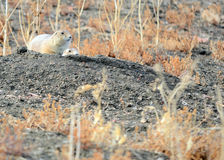 Black-Tailed Prairie Dog Royalty Free Stock Photo