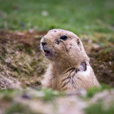Black tailed prairie dog Royalty Free Stock Image