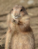 Black Tailed Prairie Dog Stock Image