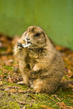 Black-tailed prairie dog Royalty Free Stock Photography