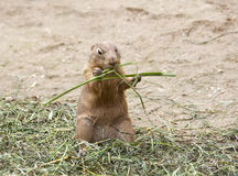 Black Tailed Prairie Dog Stock Images