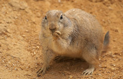 Black-tailed prairie dog. The black-tailed prairie dog is a rodent Royalty Free Stock Photography