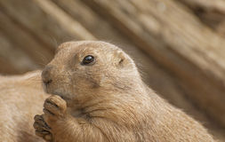 Black-tailed prairie dog. Is very inquisitive pet Royalty Free Stock Images