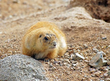 Black Tailed Prairie Dog Royalty Free Stock Photo