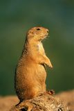 Black-tailed Prairie Dog. (Cynomys ludovicanus), North America Stock Photography