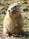 Black-tailed prairie-dog Stock Photos