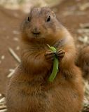 Black-tailed Prairie Dog Royalty Free Stock Photo