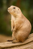 Black-tailed prairie dog. Basking in the sun Royalty Free Stock Photos