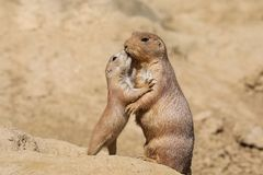 Black-tailed prairie dog. Mother with child stock images
