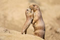 Black-tailed prairie dog. Mother with child stock photo