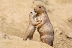 Black-tailed prairie dog. Mother with child royalty free stock photos