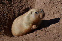 Black Tailed Prairie Dog Climbing Out of a Hole. Adorable black tailed prairie dog climbing up out of a hole royalty free stock images