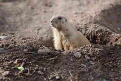 Black-tailed prairie dog (cynomys ludovicianus) Stock Photos