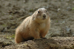 Black-tailed prairie dog (Cynomys ludovicianus). A prairie dog guards its hole Royalty Free Stock Images