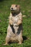 Black-tailed prairie dog Cynomys ludovicianus. Wildlife animal royalty free stock photography