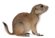 Black-tailed Prairie Dog, Cynomys Ludovicianus Royalty Free Stock Photography
