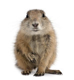 Black-tailed prairie dog, Cynomys ludovicianus Stock Photography