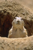 Black-tailed Prairie Dog (Cynomys ludovicianus) Stock Photo