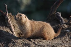 A black tailed prairie dog (Cynomys ludovicianus) Stock Photo