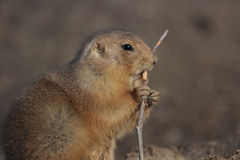 A black tailed prairie dog (Cynomys ludovicianus) Stock Image