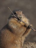 A black tailed prairie dog (Cynomys ludovicianus) stock photos