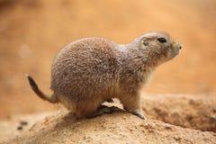 Free Black-tailed Prairie Dog (Cynomys Ludovicianus) Royalty Free Stock Photos - 79845168
