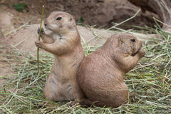 Black-tailed prairie dog Cynomys ludovicianus Royalty Free Stock Photo