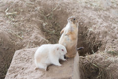 Black-tailed prairie dog Cynomys ludovicianus Royalty Free Stock Images