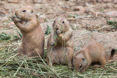 Black-tailed prairie dog Cynomys ludovicianus Royalty Free Stock Photography
