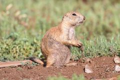 Black-tailed Prairie Dog (Cynomys ludovicianus) Royalty Free Stock Image