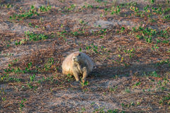 Black-tailed prairie dog Cynomys ludovicianus. Royalty Free Stock Images