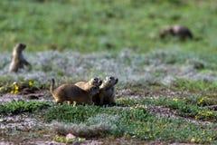Black-tailed Prairie Dog, Cynomys ludovicianus. Black-tailed Prairie Dogs in their `town` in Wichita Mountains Wildlife Refuge in Oklahoma stock photos