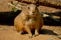 Black-Tailed Prairie Dog. Cynomys ludovicianus by a branch Royalty Free Stock Photo